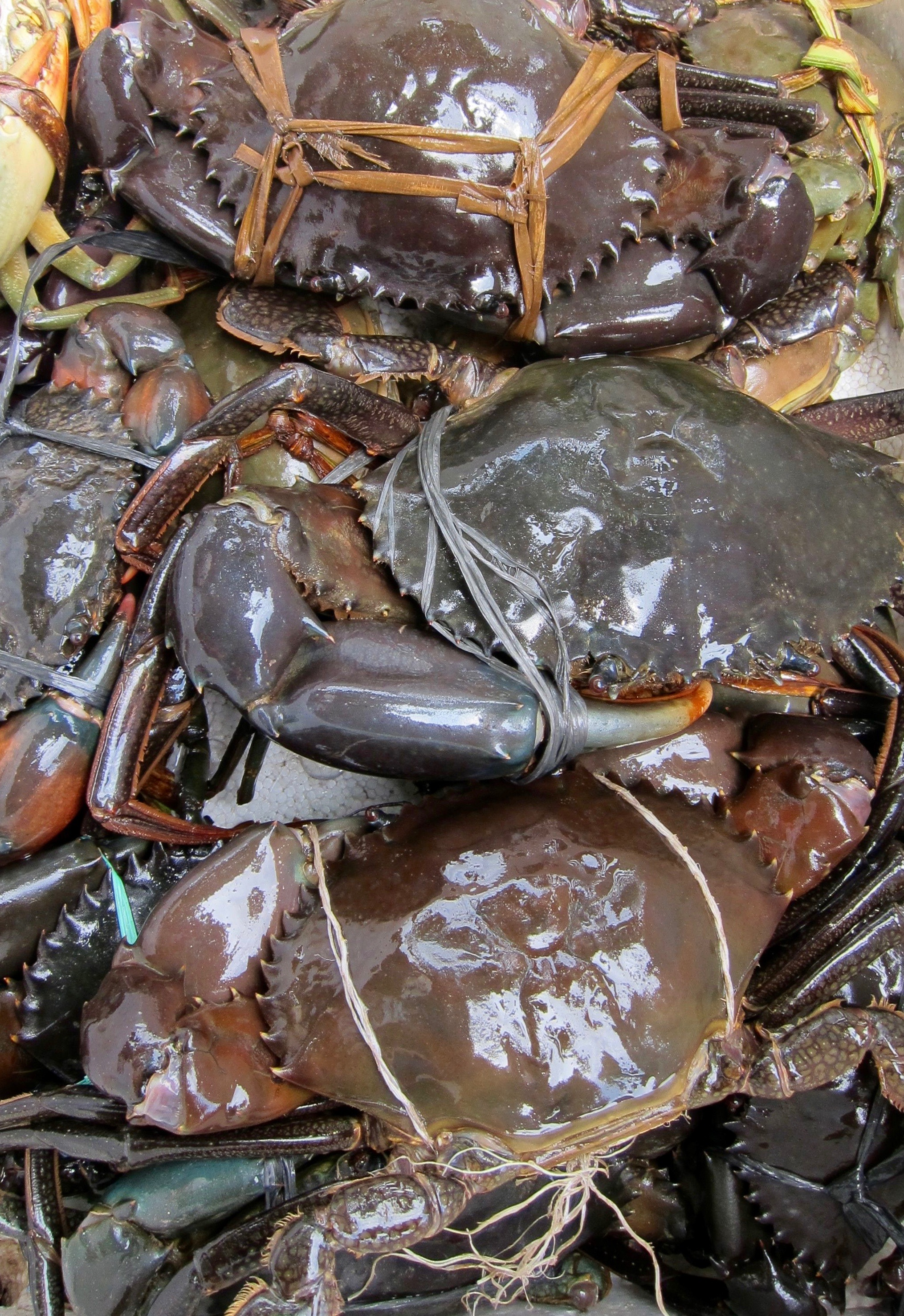 Crabs bought from the live market by students at Amitabha Buddhist Centerin Singapore await liberation back to the ocean. They are sold tied upand packed together in cramped conditionsto be boiled alive and eaten. (Photo Ven Sarah Thresher)